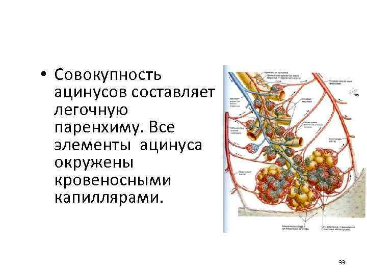 • Совокупность ацинусов составляет легочную паренхиму. Все элементы ацинуса окружены кровеносными капиллярами. 33