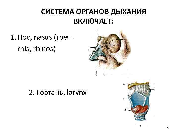 СИСТЕМА ОРГАНОВ ДЫХАНИЯ ВКЛЮЧАЕТ: 1. Нос, nasus (греч. rhis, rhinos) 2. Гортань, larynx 4