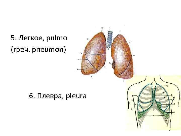 5. Легкое, pulmо (греч. рneumon) 6. Плевра, pleura 6