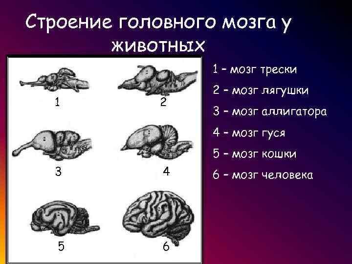 Картинки строения головного мозга животных саблю абардажную