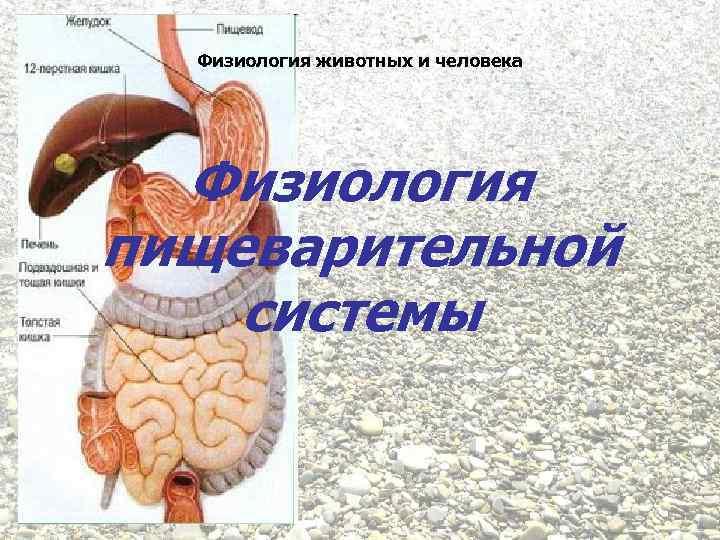 Физиология животных и человека Физиология пищеварительной системы