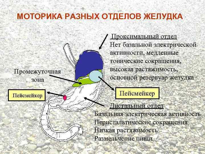 МОТОРИКА РАЗНЫХ ОТДЕЛОВ ЖЕЛУДКА Промежуточная зона Пейсмейкер Проксимальный отдел Нет базальной электрической активности, медленные