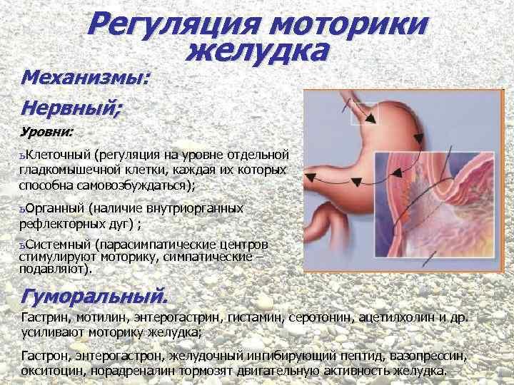 Регуляция моторики желудка Механизмы: Нервный; Уровни: ь Клеточный (регуляция на уровне отдельной гладкомышечной клетки,