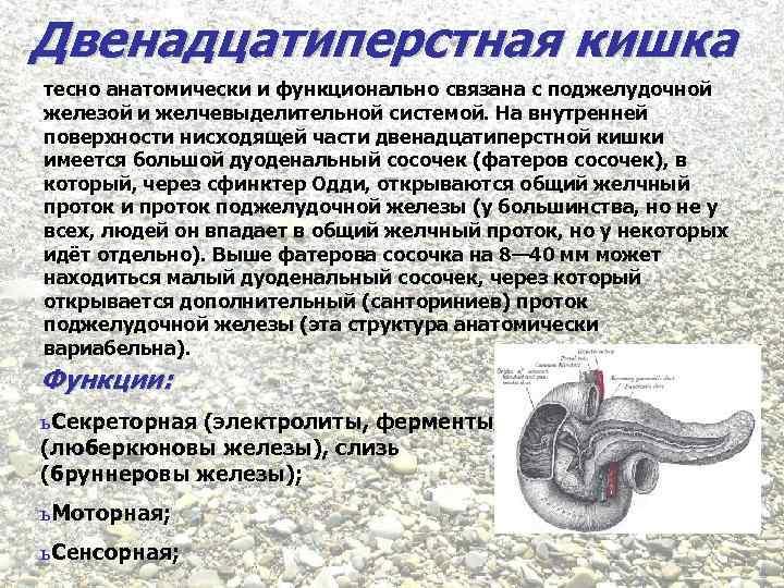Двенадцатиперстная кишка тесно анатомически и функционально связана с поджелудочной железой и желчевыделительной системой. На