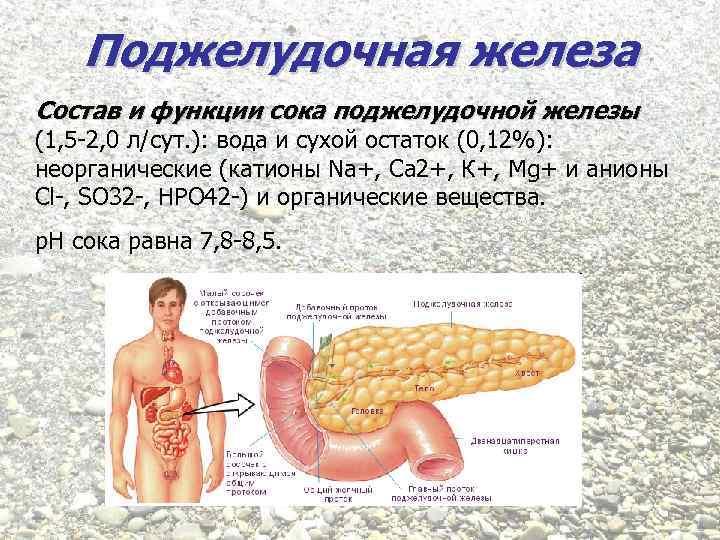Поджелудочная железа Состав и функции сока поджелудочной железы (1, 5 -2, 0 л/сут. ):
