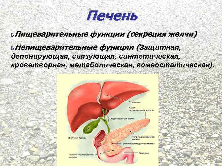 Печень ь Пищеварительные функции (секреция желчи) ь Непищеварительные функции (Защитная, депонирующая, связующая, синтетическая, кроветворная,