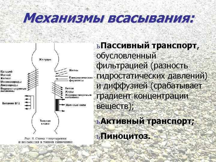 Механизмы всасывания: ь Пассивный транспорт, обусловленный фильтрацией (разность гидростатических давлений) и диффузией (срабатывает градиент