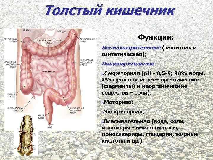 Толстый кишечник Функции: Непищеварительные (защитная и синтетическая); Пищеварительные: ь Секреторная (р. Н - 8,