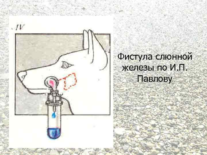 Фистула слюнной железы по И. П. Павлову