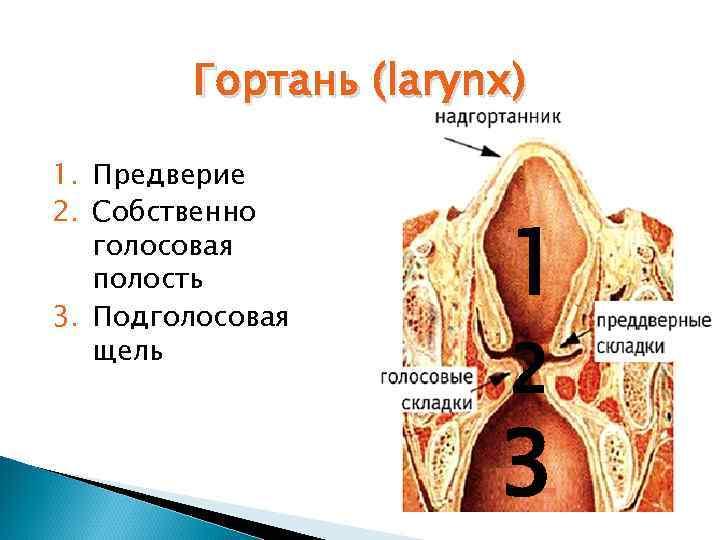Гортань (larynx) 1. Предверие 2. Собственно  голосовая  полость 3. Подголосовая