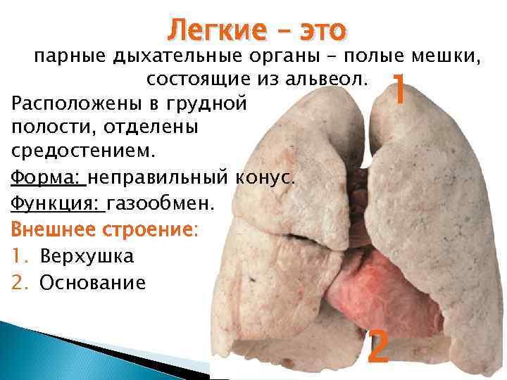 Легкие – это  парные дыхательные органы – полые мешки,