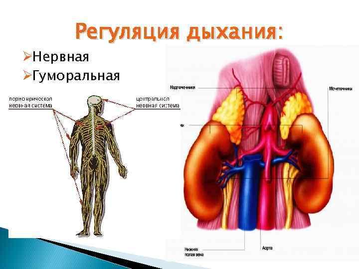 Регуляция дыхания: ØНервная ØГуморальная