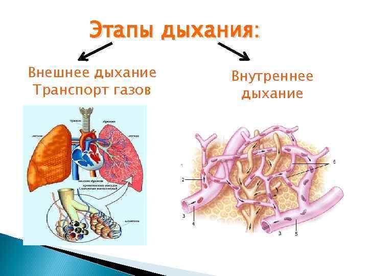 Этапы дыхания: Внешнее дыхание  Внутреннее Транспорт газов  дыхание