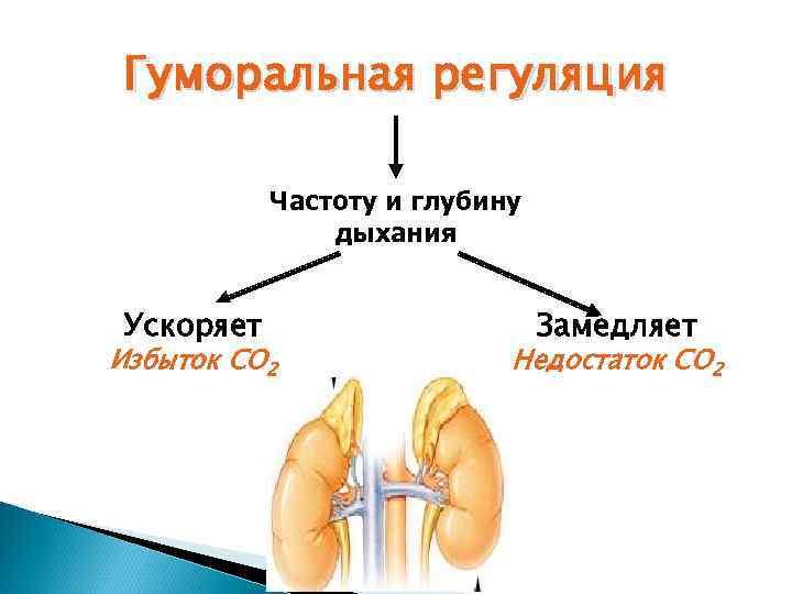 Гуморальная регуляция   Частоту и глубину    дыхания  Ускоряет