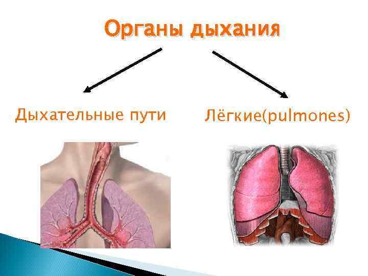 Органы дыхания  Дыхательные пути  Лёгкие(pulmones)