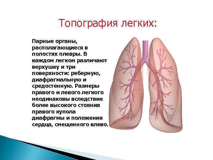 Топография легких: Парные органы, располагающиеся в полостях плевры. В каждом легком различают