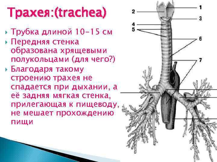 Трахея: (trachea) Трубка длиной 10 -15 см Передняя стенка образована хрящевыми полукольцами (для чего?