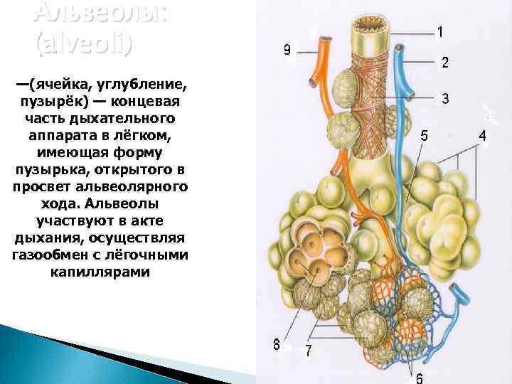 Альвеолы:  (alveoli) —(ячейка, углубление,  пузырёк) — концевая  часть дыхательного