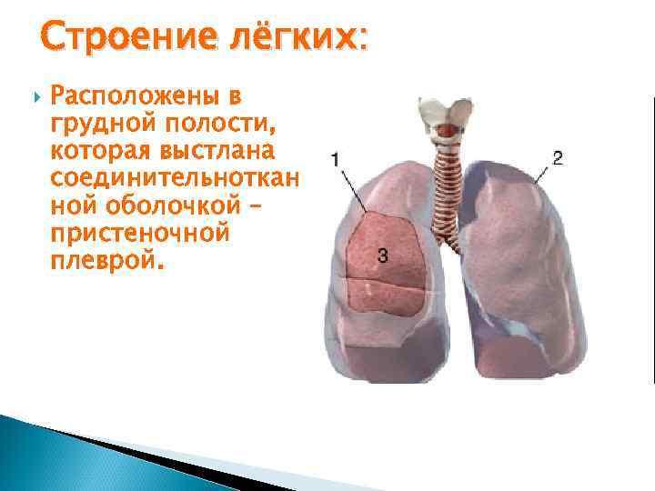 Строение лёгких: Расположены в грудной полости, которая выстлана соединительноткан ной оболочкой – пристеночной плеврой.