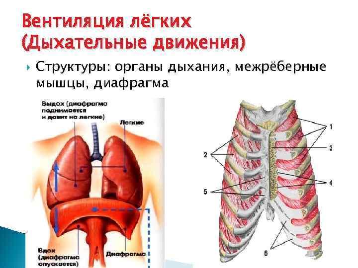 Вентиляция лёгких (Дыхательные движения) Структуры: органы дыхания, межрёберные мышцы, диафрагма