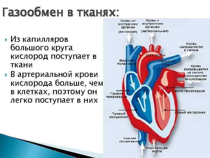 Газообмен в тканях:  Из капилляров большого круга кислород поступает в ткани В артериальной