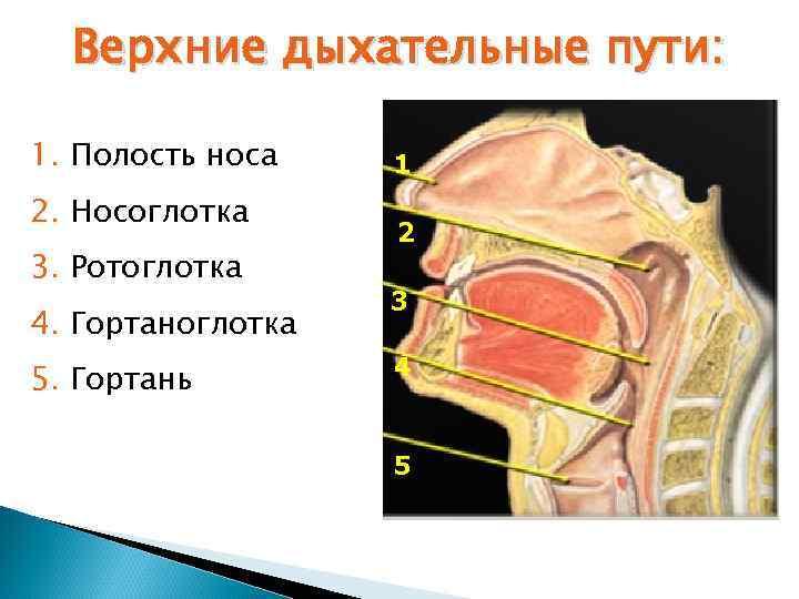 Верхние дыхательные пути:  1. Полость носа  1 2. Носоглотка