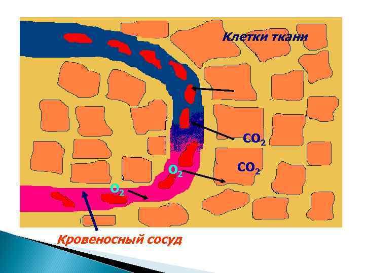 Клетки ткани      СО 2