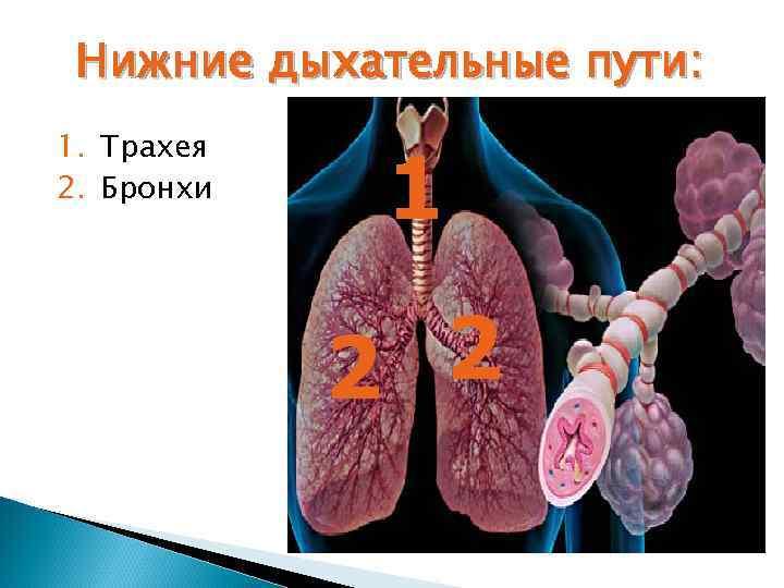 Нижние дыхательные пути: 1. Трахея 2. Бронхи   1   2