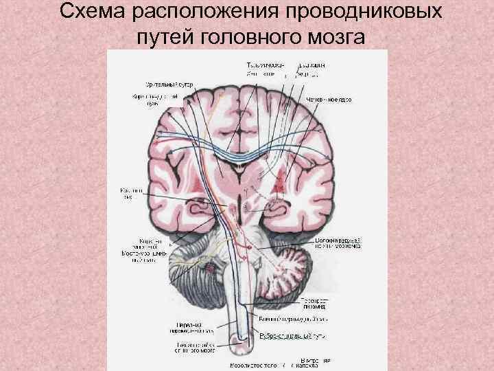 Схема расположения проводниковых  путей головного мозга