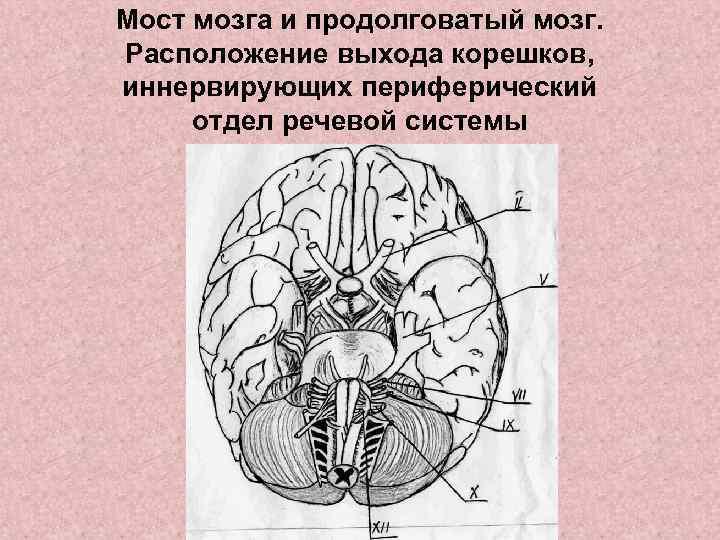 Мост мозга и продолговатый мозг. Расположение выхода корешков, иннервирующих периферический отдел речевой системы
