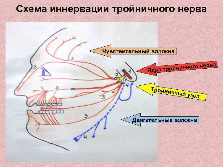 Схема иннервации тройничного нерва    Чувствительный волокна     ерва