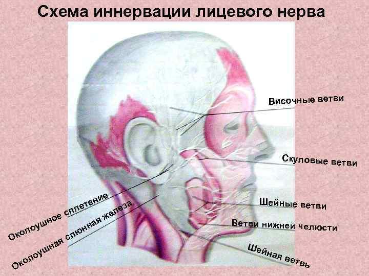 Схема иннервации лицевого нерва     Височные ветви