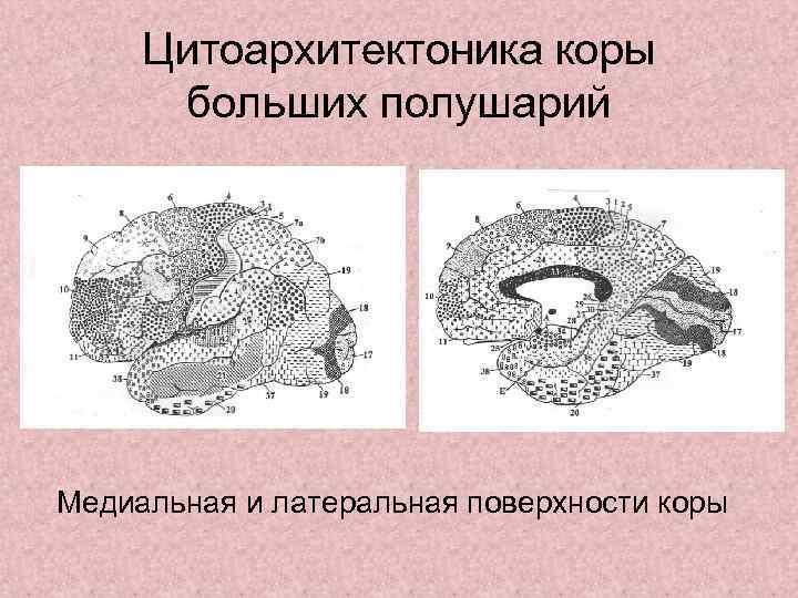 Цитоархитектоника коры  больших полушарий Медиальная и латеральная поверхности коры