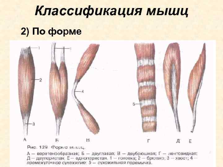 Классификация мышц 2) По форме