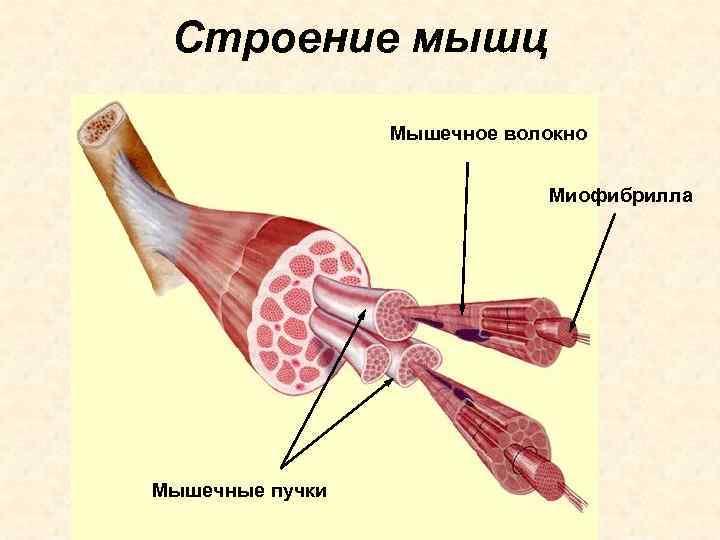Строение мышц   Мышечное волокно      Миофибрилла Мышечные