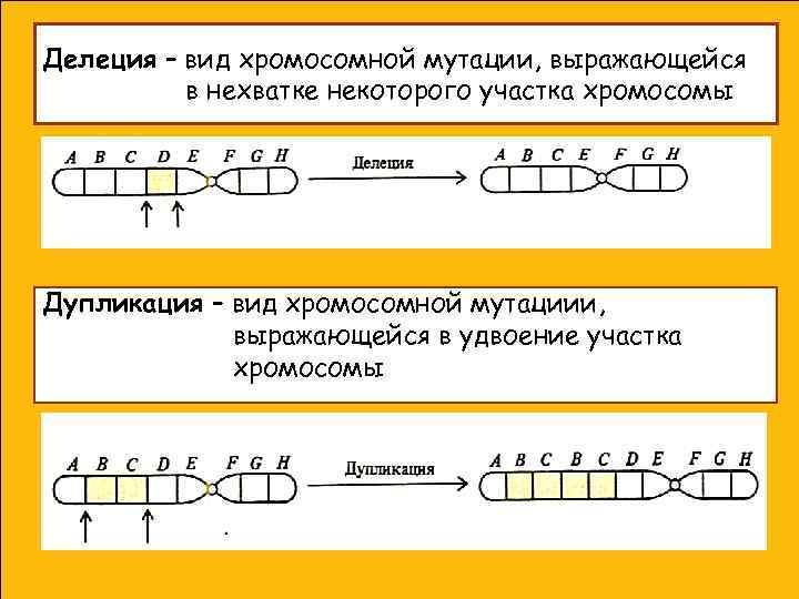 Делеция – вид хромосомной мутации, выражающейся  в нехватке некоторого участка хромосомы Дупликация –