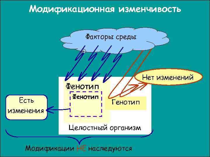 Модификационная изменчивость    Факторы среды    Нет изменений