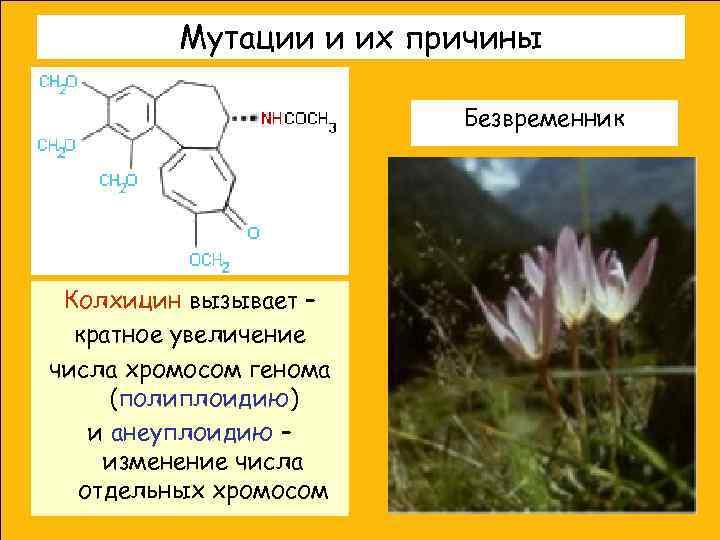 Мутации и их причины     Безвременник Колхицин вызывает