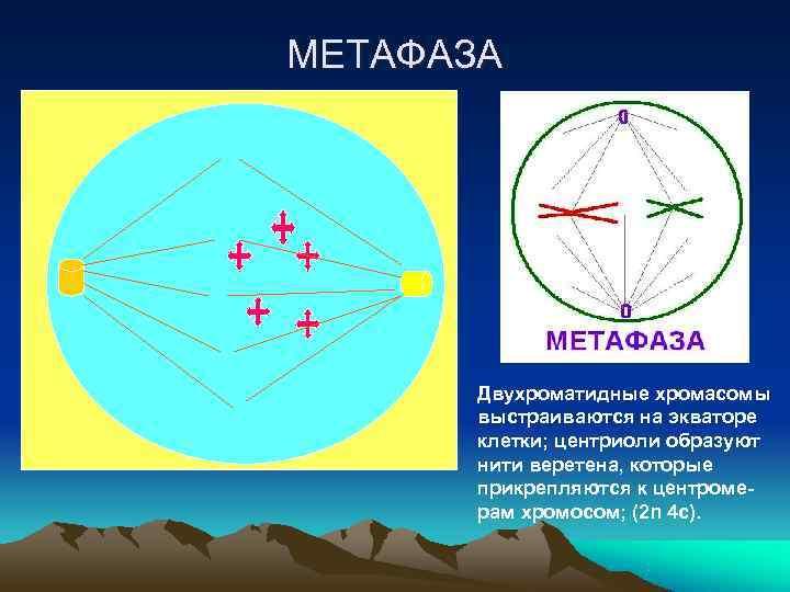МЕТАФАЗА  Двухроматидные хромасомы  выстраиваются на экваторе  клетки; центриоли образуют  нити
