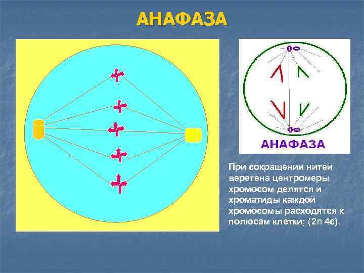 АНАФАЗА    При сокращении нитей  веретена центромеры  хромосом делятся и