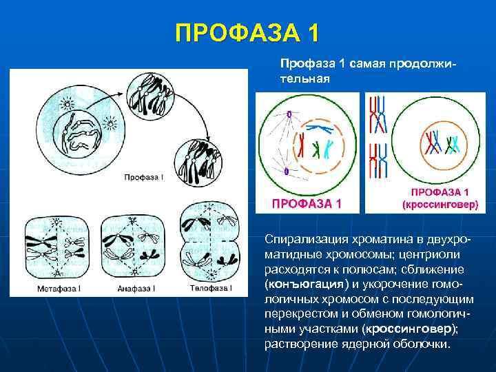 ПРОФАЗА 1  Профаза 1 самая продолжи-  тельная   Спирализация хроматина в