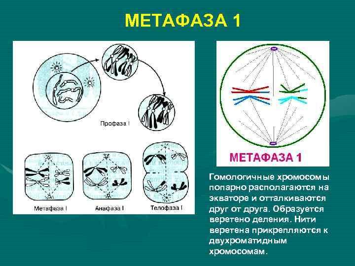 МЕТАФАЗА 1  Гомологичные хромосомы  попарно располагаются на  экваторе и отталкиваются