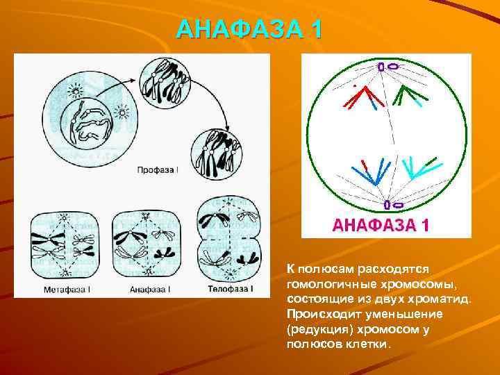 АНАФАЗА 1  К полюсам расходятся  гомологичные хромосомы,  состоящие из двух хроматид.