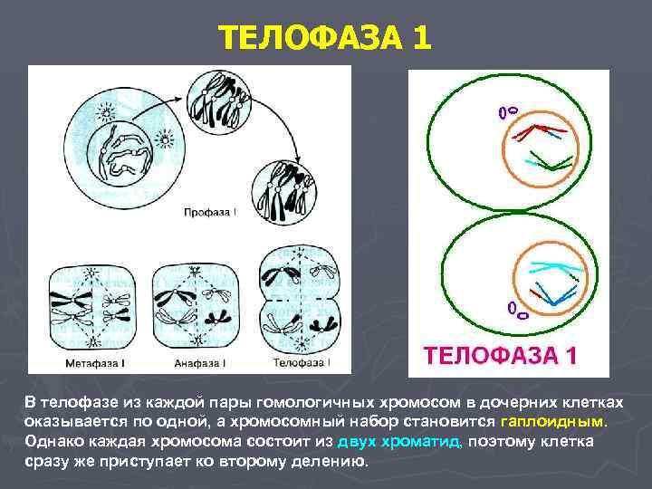 ТЕЛОФАЗА 1 В телофазе из каждой пары гомологичных хромосом