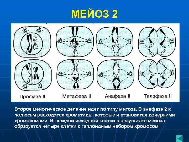 МЕЙОЗ 2 Второе мейотическое деление идет по типу митоза.