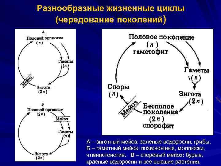 Разнообразные жизненные циклы (чередование поколений)   А – зиготный мейоз: зеленые водоросли, грибы.
