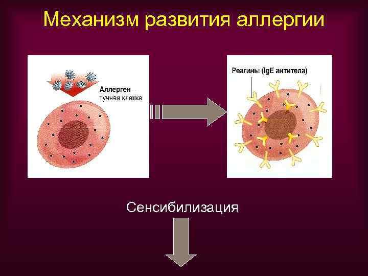 Механизм развития аллергии  Сенсибилизация