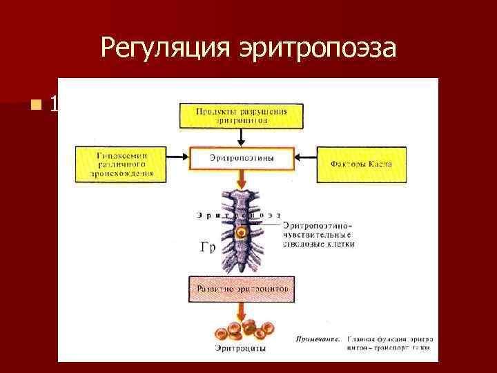 Регуляция эритропоэза n 1