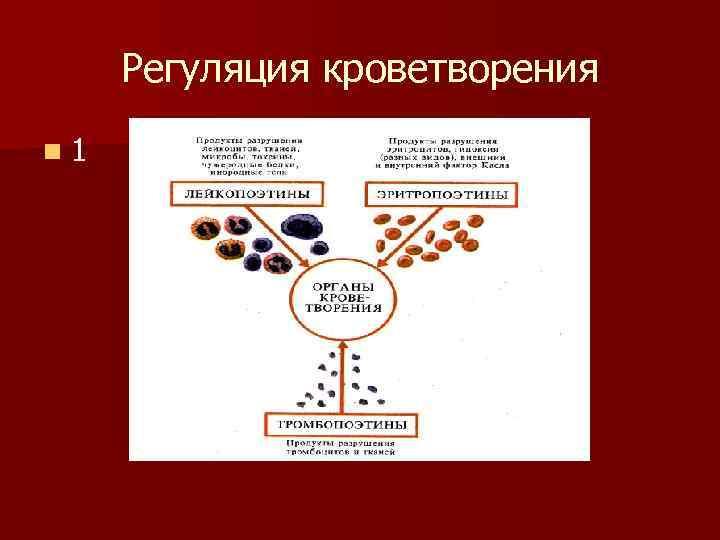 Регуляция кроветворения n 1