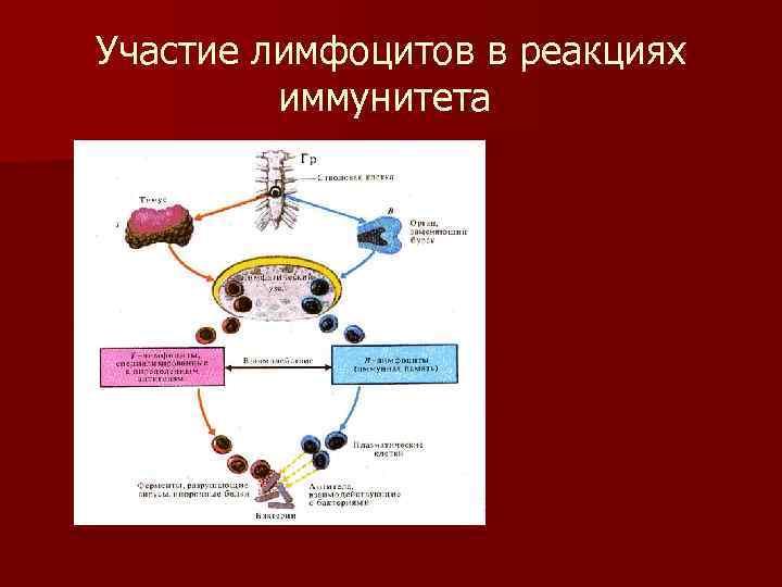 Участие лимфоцитов в реакциях  иммунитета